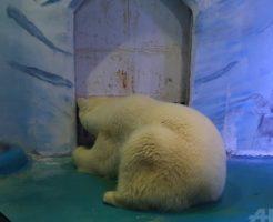 中国で劣悪な環境で飼育されるホッキョクグマ