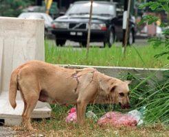 マレーシアの野良犬