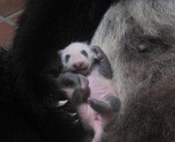上野動物園の赤ちゃんパンダ