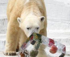 ホッキョクグマに氷のプレゼント