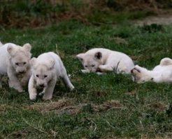 チェコの動物園、ホワイトライオン5つ子赤ちゃんがすくすく成長