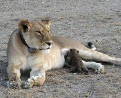 ヒョウの子供に授乳するライオン