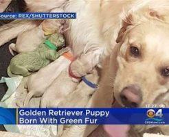 緑色のゴールデンレトリーバーが生まれた
