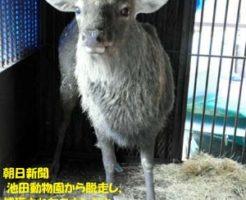 朝日新聞 池田動物園から脱走し、捕獲されたニホンジカ=岡山市北区京山2丁目