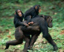 産休を取るチンパンジー