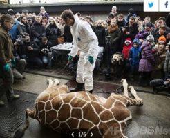 キリンを観客の目の前で解体するデンマークの動物園