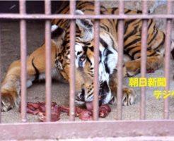 国内最高齢のトラ死ぬ 24歳、人間なら百歳超