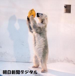 一人遊びするシロクマ