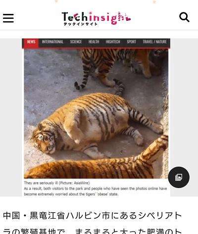 肥満のトラ