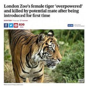 スマトラトラの雄、繁殖相手の雌を攻撃し死なせる 英ロンドン