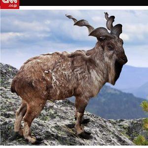 希少種のヤギを撃った米国人トロフィーハンターに非難の嵐