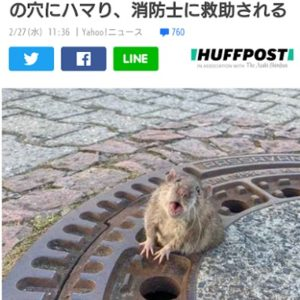 肥満でマンホールの穴に引っかかったネズミ、9人がかりで救出