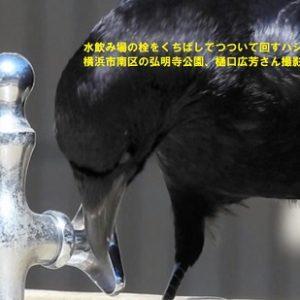 水道の栓ひねる「天才」カラス 飲む浴びる、調節も自在