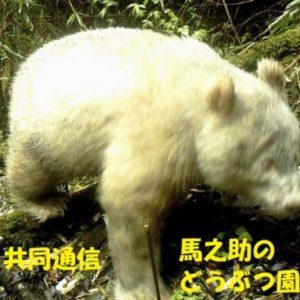 中国で白い野生パンダを初撮影!