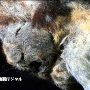 3万年前のライオン、オオカミ、氷漬けで発見(シベリア)