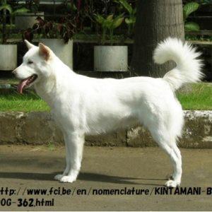 キンタマーニ犬がインドネシア初の正式な犬種に認定された