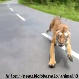 【動画アリ】戦慄恐怖・バイクで走行中トラと遭遇インド