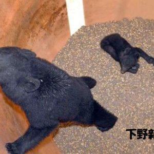 【動画あり】飼料タンクにクマ3頭 塩谷町営放牧場、親子か