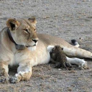 ヒョウの子を育てるライオンが見つかる、殺さないのは異例